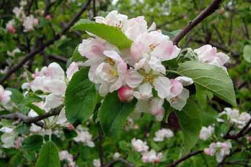 Цветение в апреле Крым