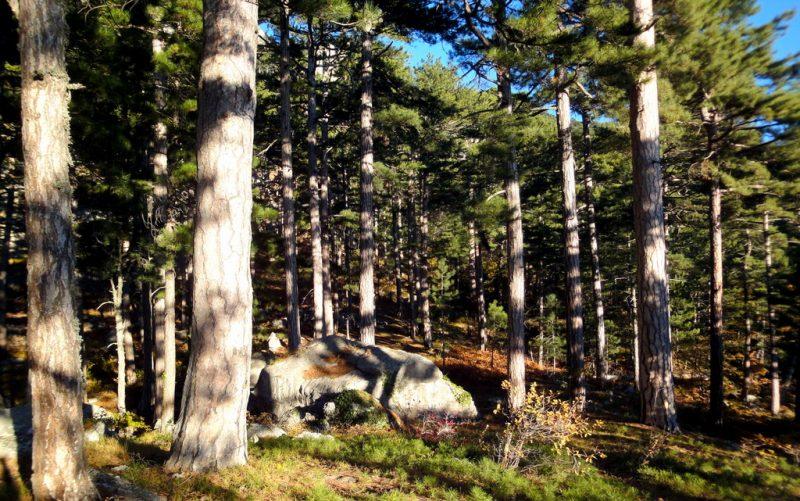 Сосновый лес ЮБК